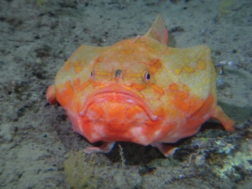 New species are constantly dicovered in the depths of the ocean, including from Stanley Submarines Idabel in Roatan.