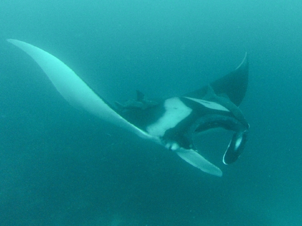 A giant oceanic manta ray cruises the nutrient-rich waters of Galapagos. Divers can hope to encounter these, as well as schooling hammerhead sharks, whale sharks and many others.