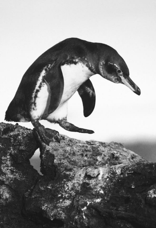 The Galapagos penguin, one of the many endemic species on the Galapagos Islands, is also one of the strangest encounters you may have while diving there. Thank you Aura Banda (IG @aura_naturephotography) for the beautiful picture.