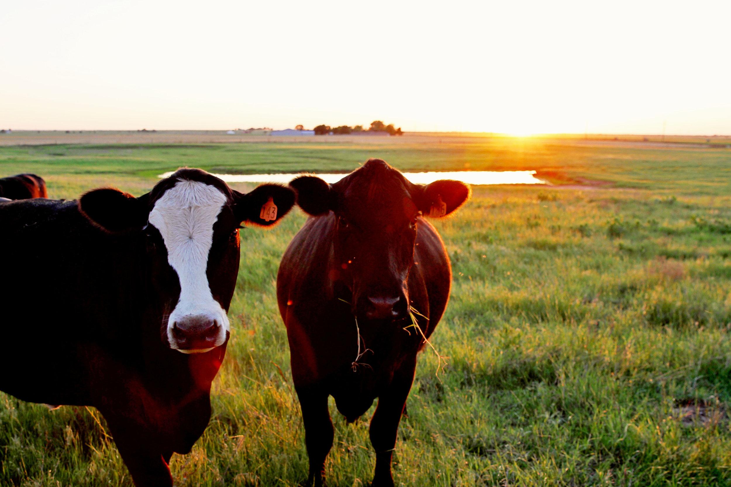 cattle61.jpg