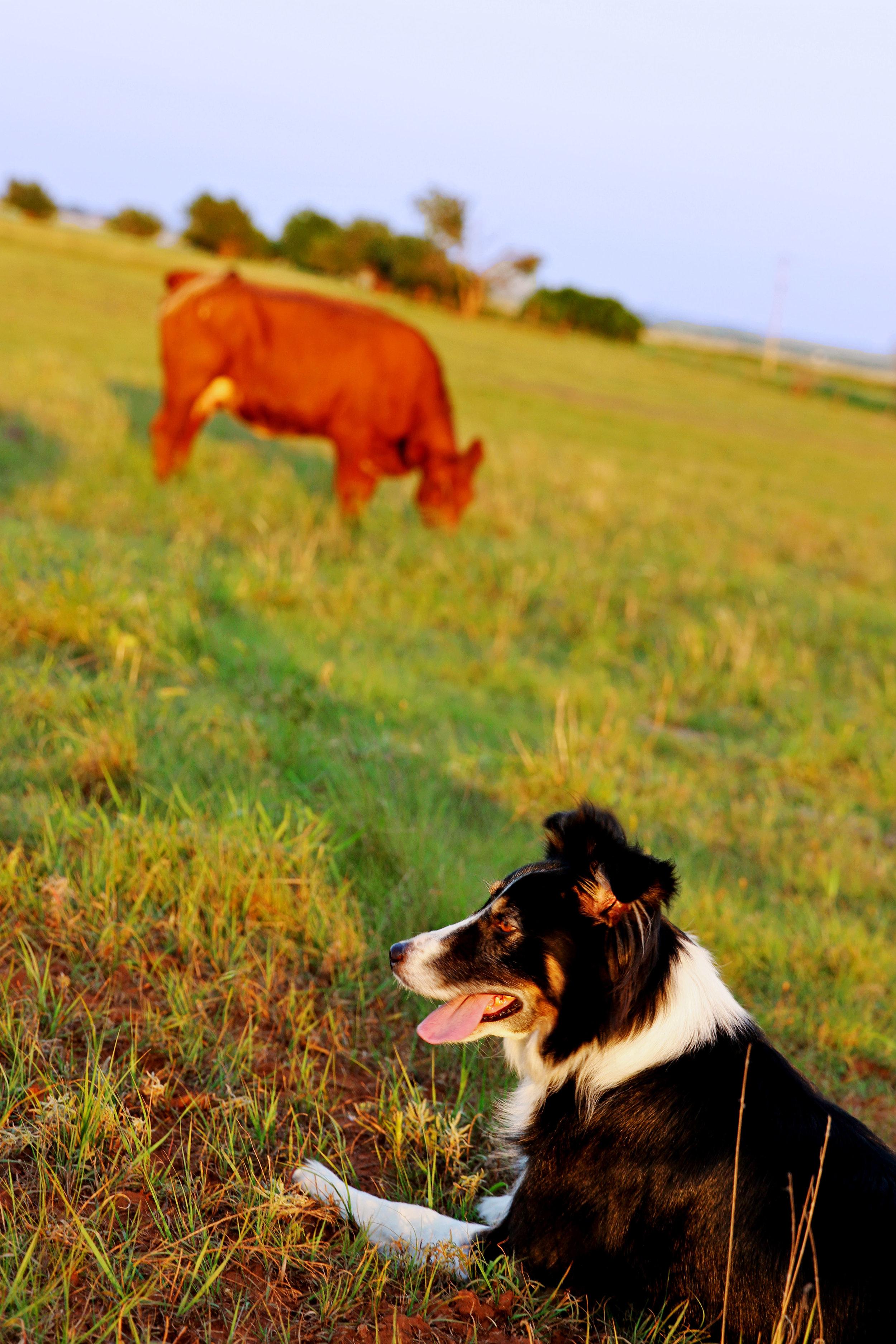 cattle4.jpg