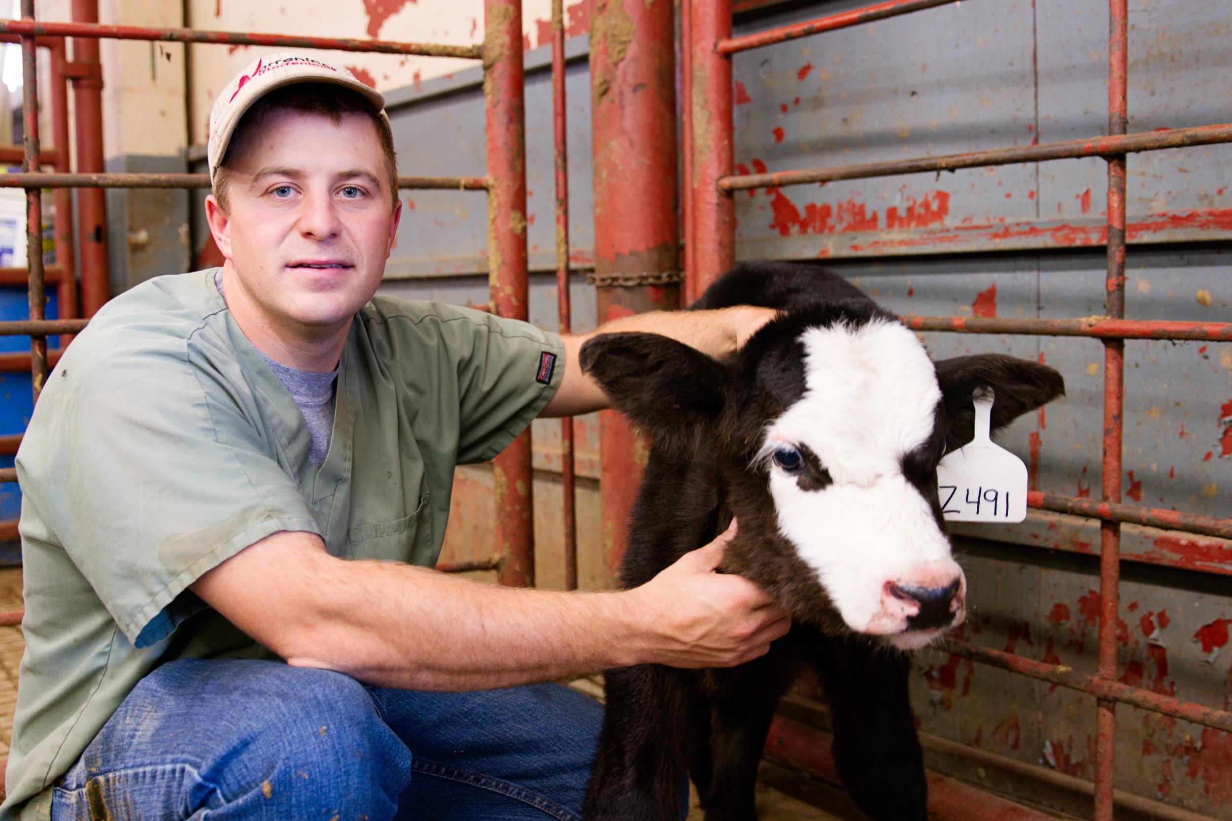 cattle.jpg