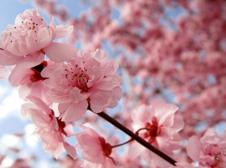 Cherry Blossom. Image credit -  The Tokyo Times