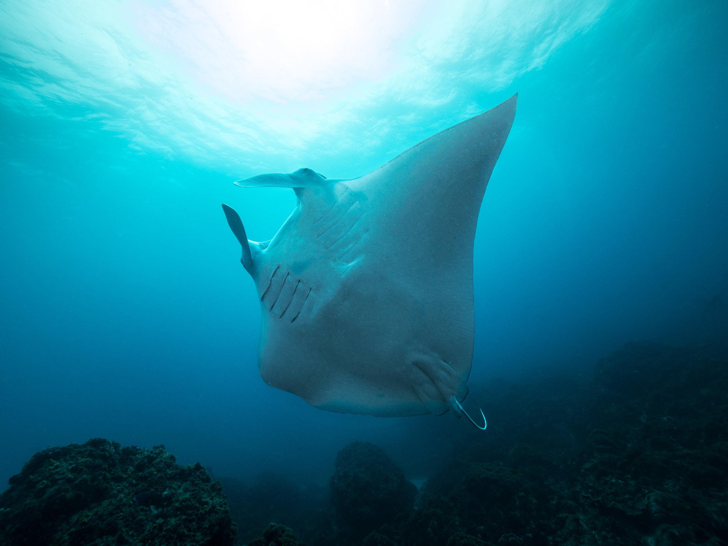 manta ray byron bay freediving.jpg