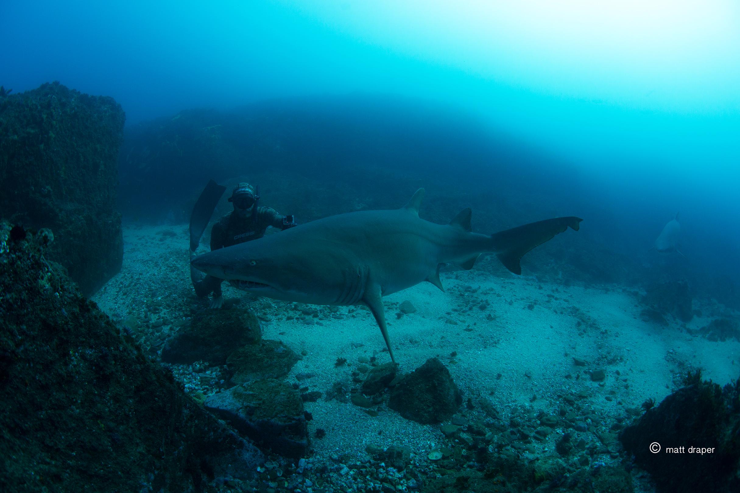 getdownfreediving grey nurse shark byron.jpg