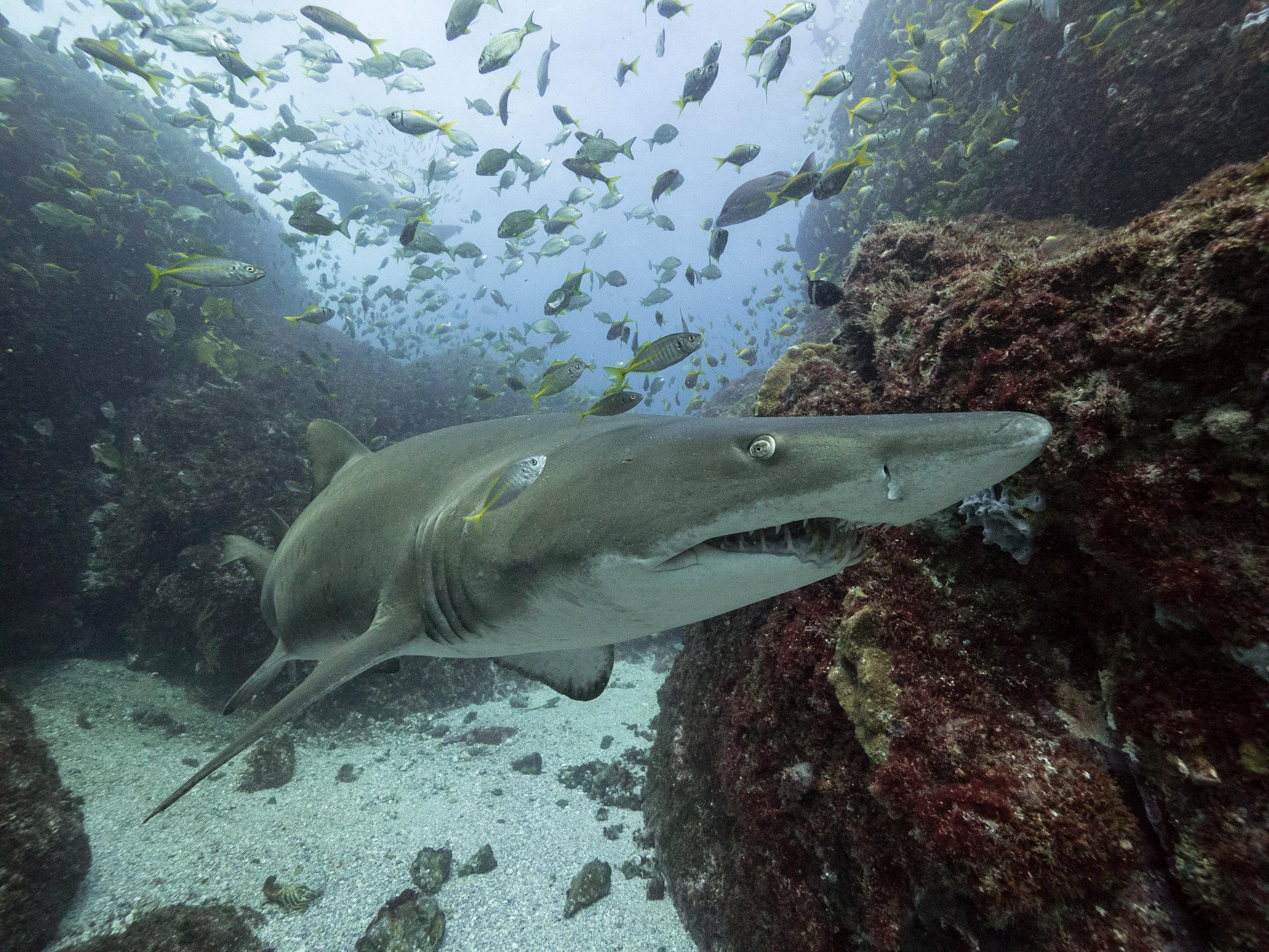 shark getdown freediving byron bay.jpg