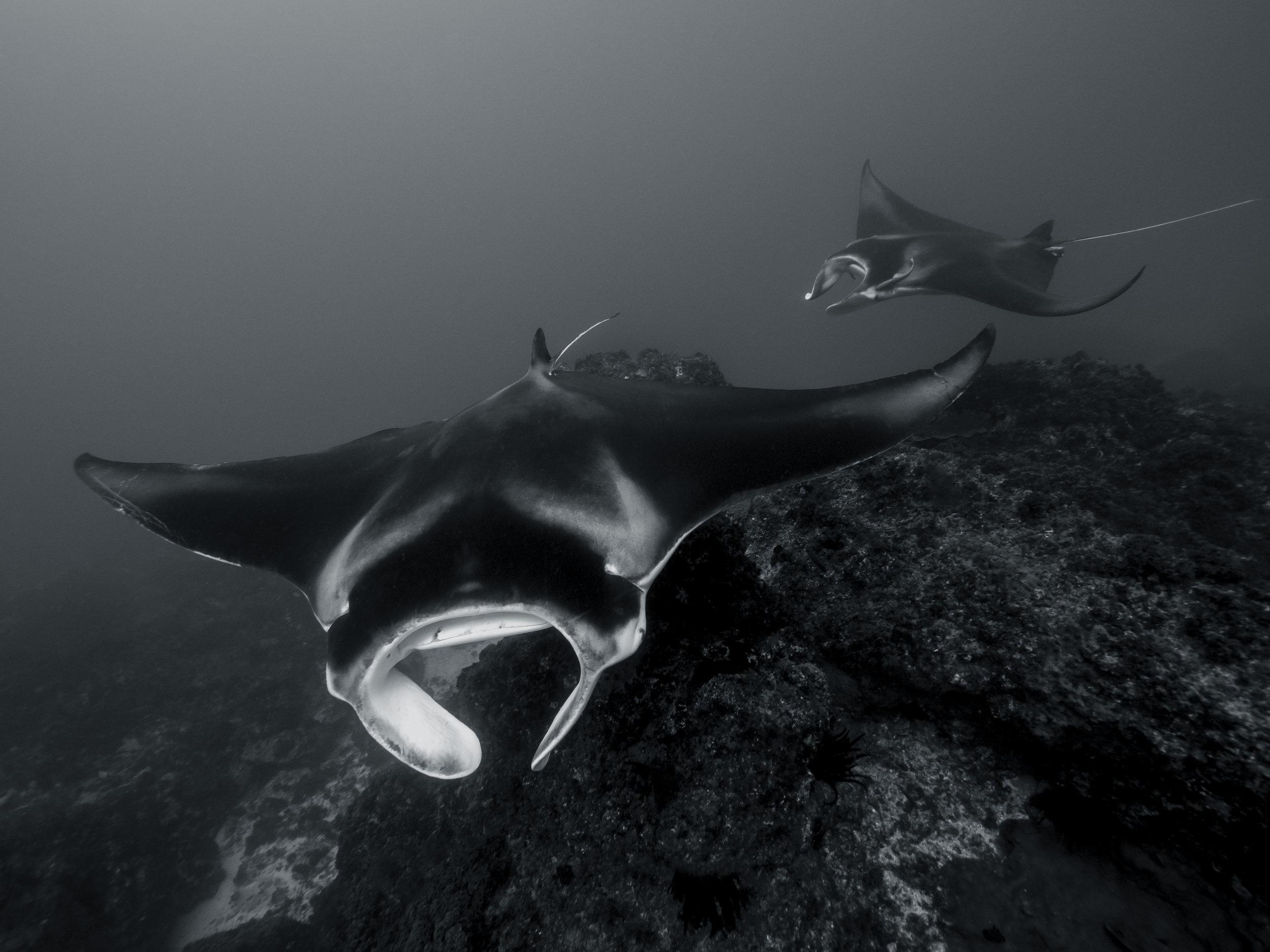 manta rays byron getdown freediving.jpg