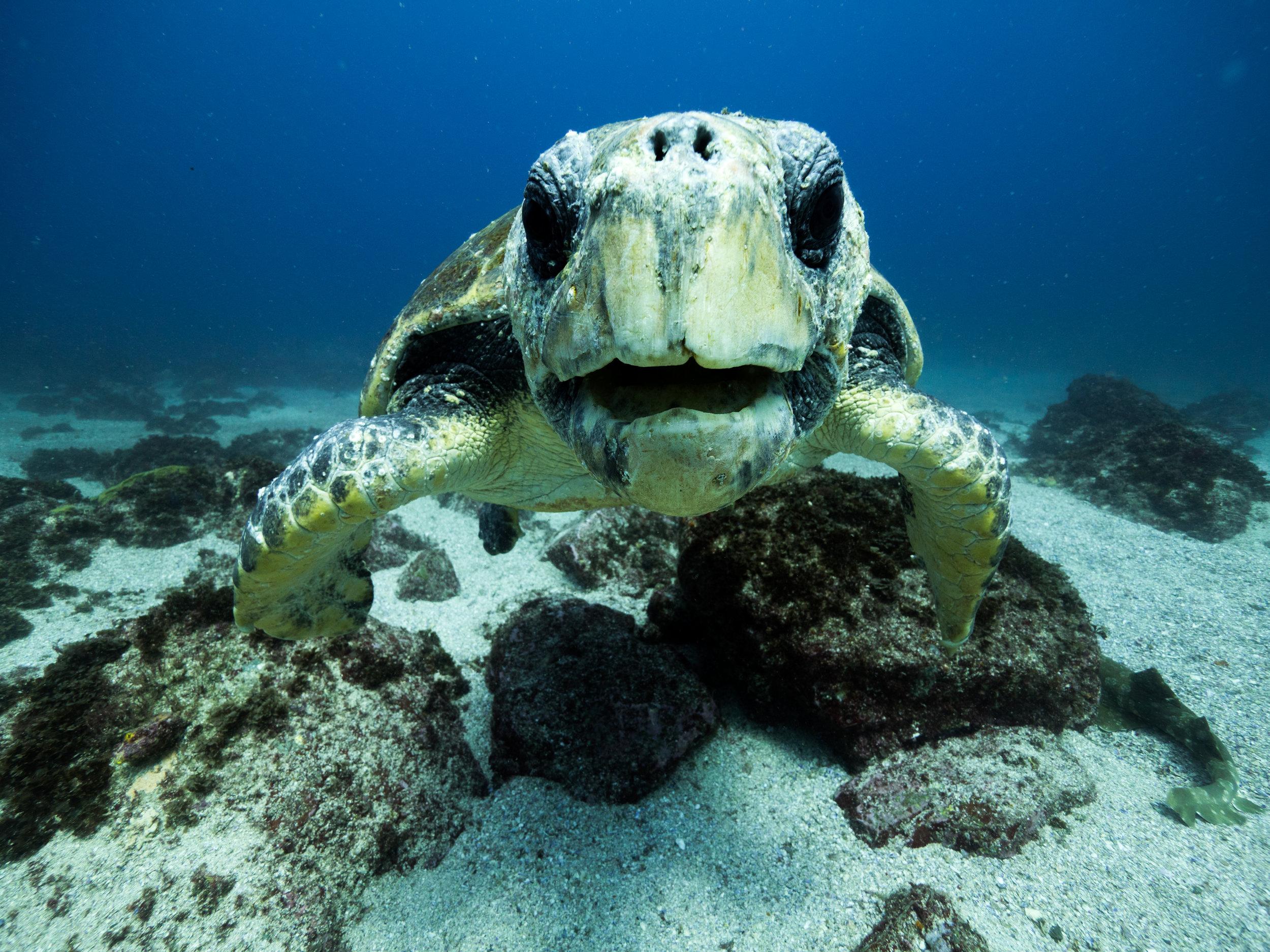 freedive byron bay turtle.jpg