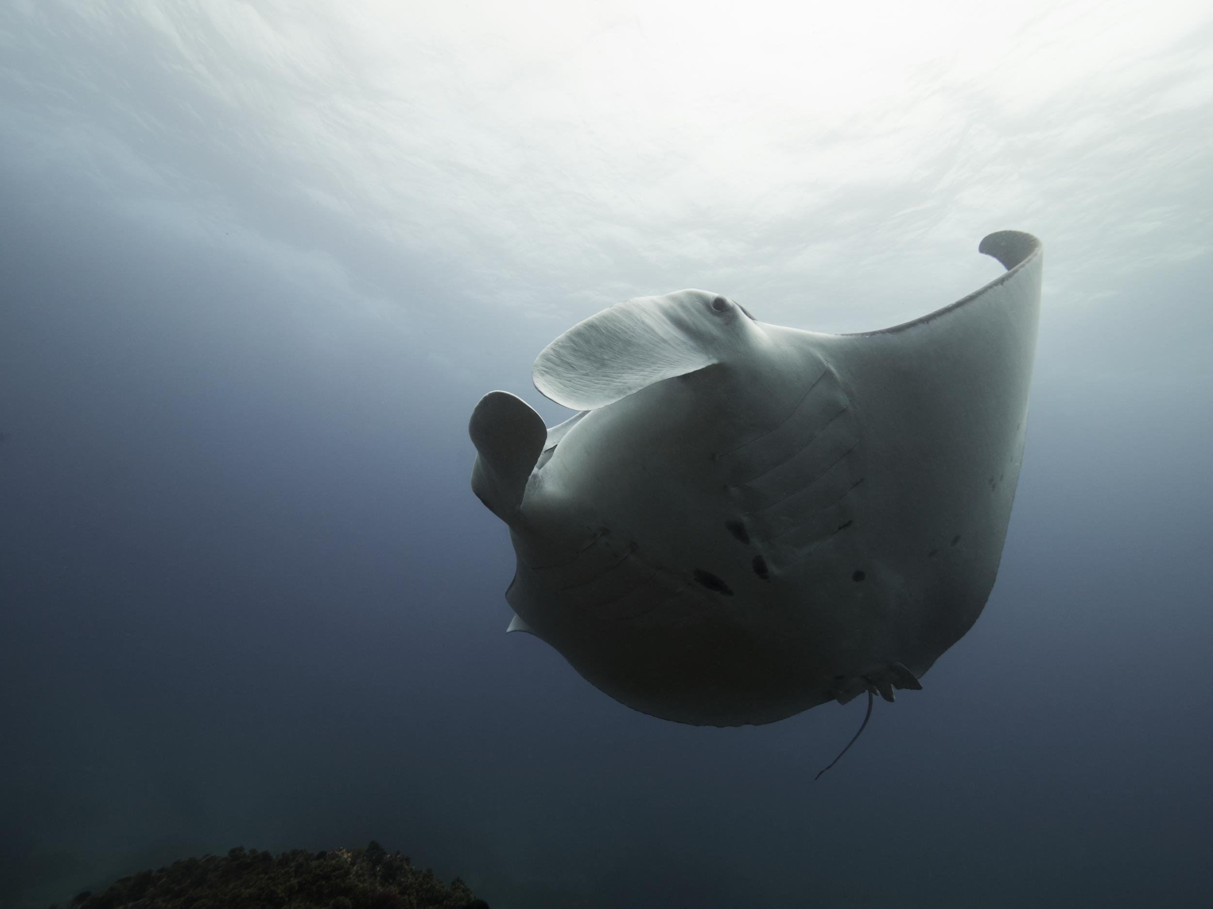 getdown freediving mant ray.jpg