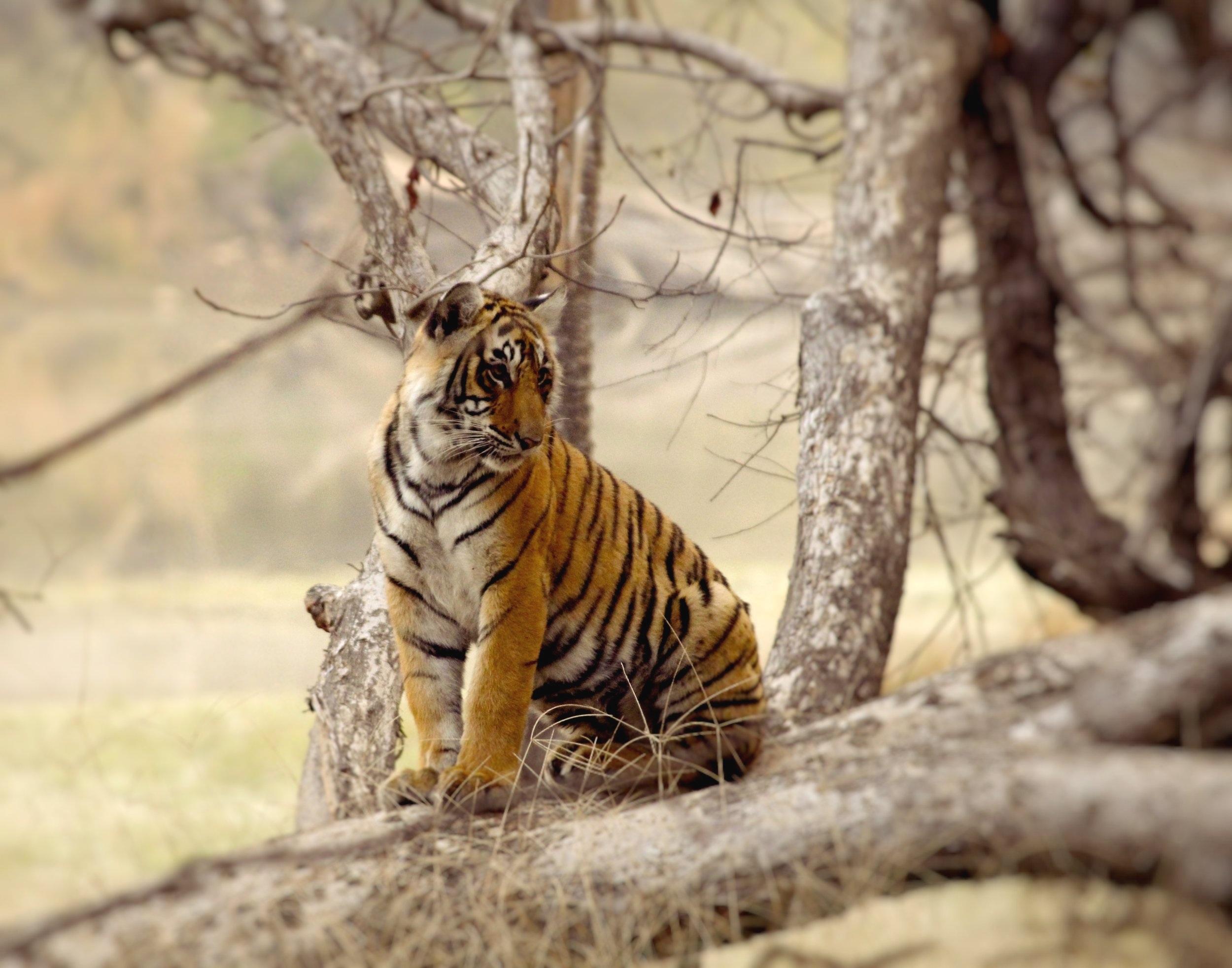 Sariska+Tiger