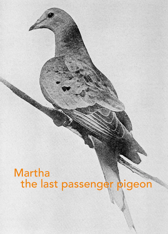 Martha_last_passenger_pigeon_1914 S.jpg
