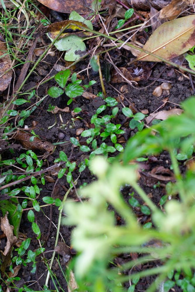 Green hellbore, seedlings underneath 2.jpg