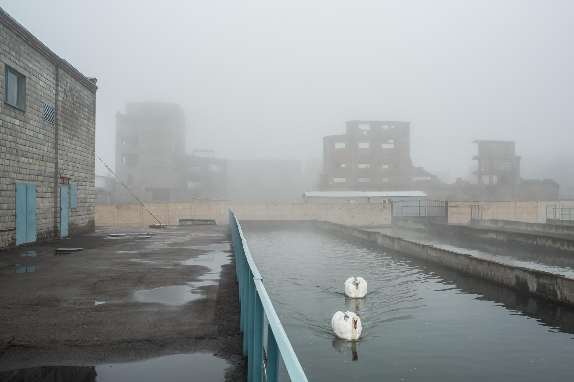 Swans, Eastern Ukraine