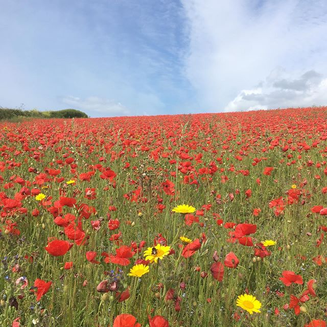 Cornwall at its best ❤️ #rockpoolholidays #poppylove #poppy #poppyfields #cornwall