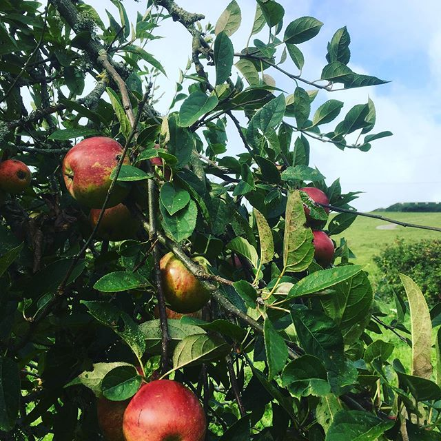 Thank you @healeyscyderfarm for letting us press our Bunny Cottage apples in to delicious juice. Such a great experience for kids to get involved in. Healeys is a great family day out, free entrance and the scones are delicious! 🍏🍎🍏🍎#harvest #apples #cornwall #bunnycottage #rockpoolholidays #healeysciderfarm
