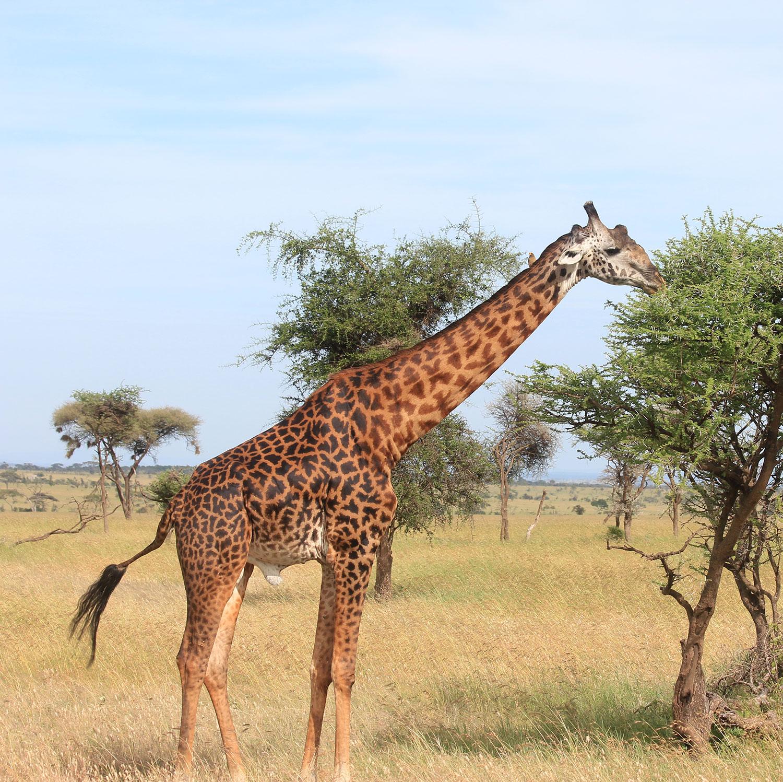 giraffe-1500px.jpg