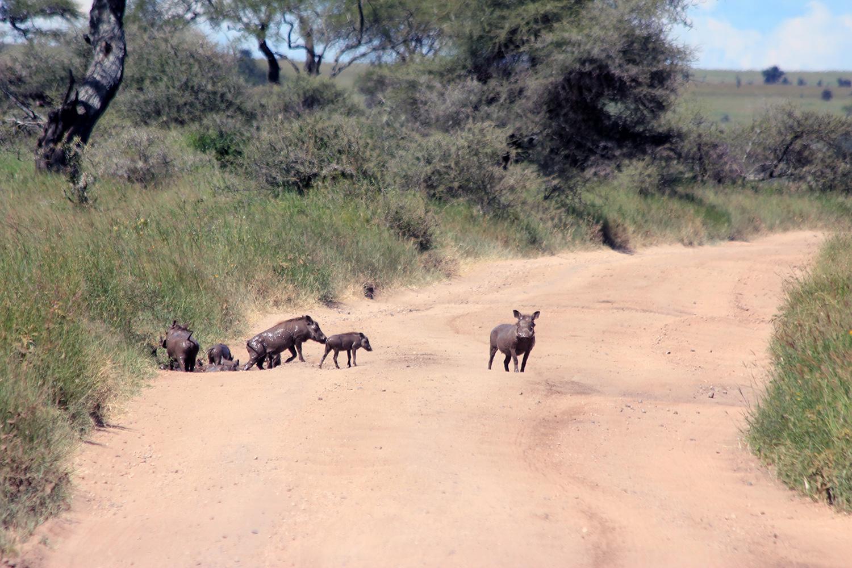 safari_warthogs_1500.jpg