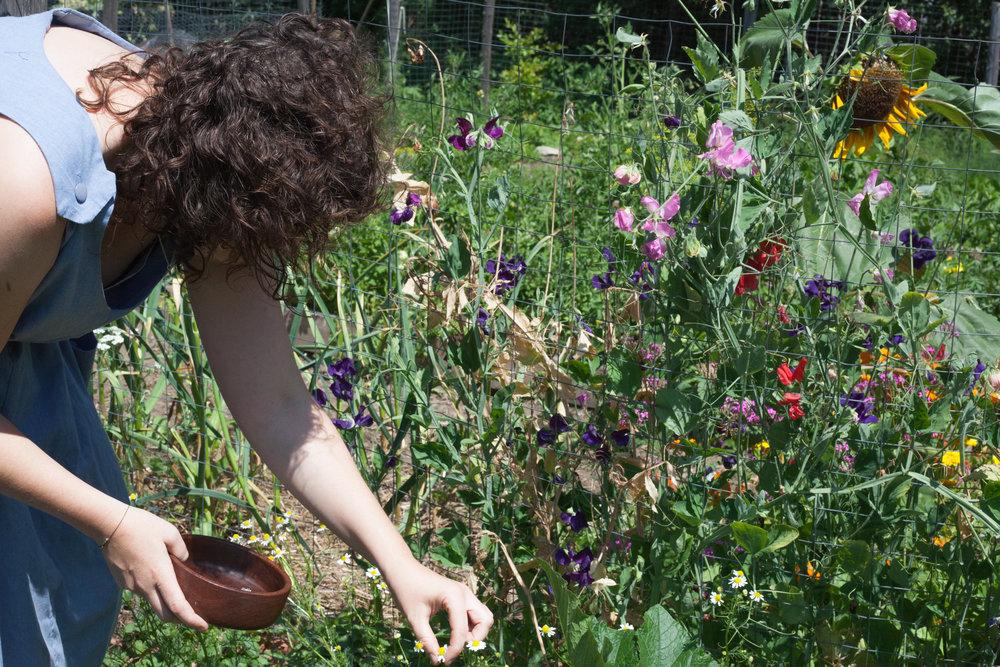 Picking chamomile