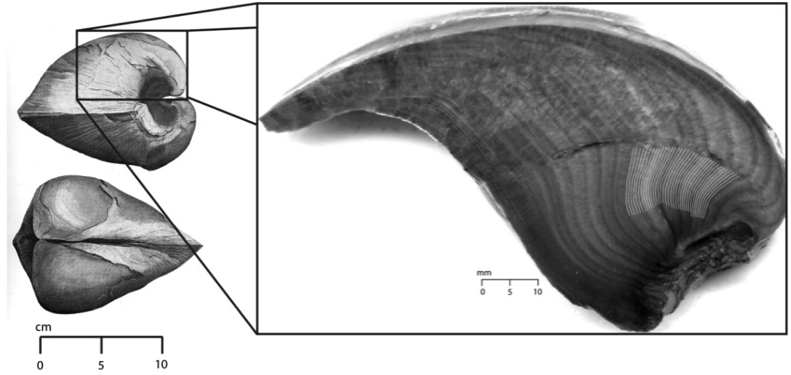 Figure 7. Eurydesma cordatum (Morris 1845; left) from Beard et al. (2015) showing sampling sites within the umbo. Figure is from Beard et al. (2015)