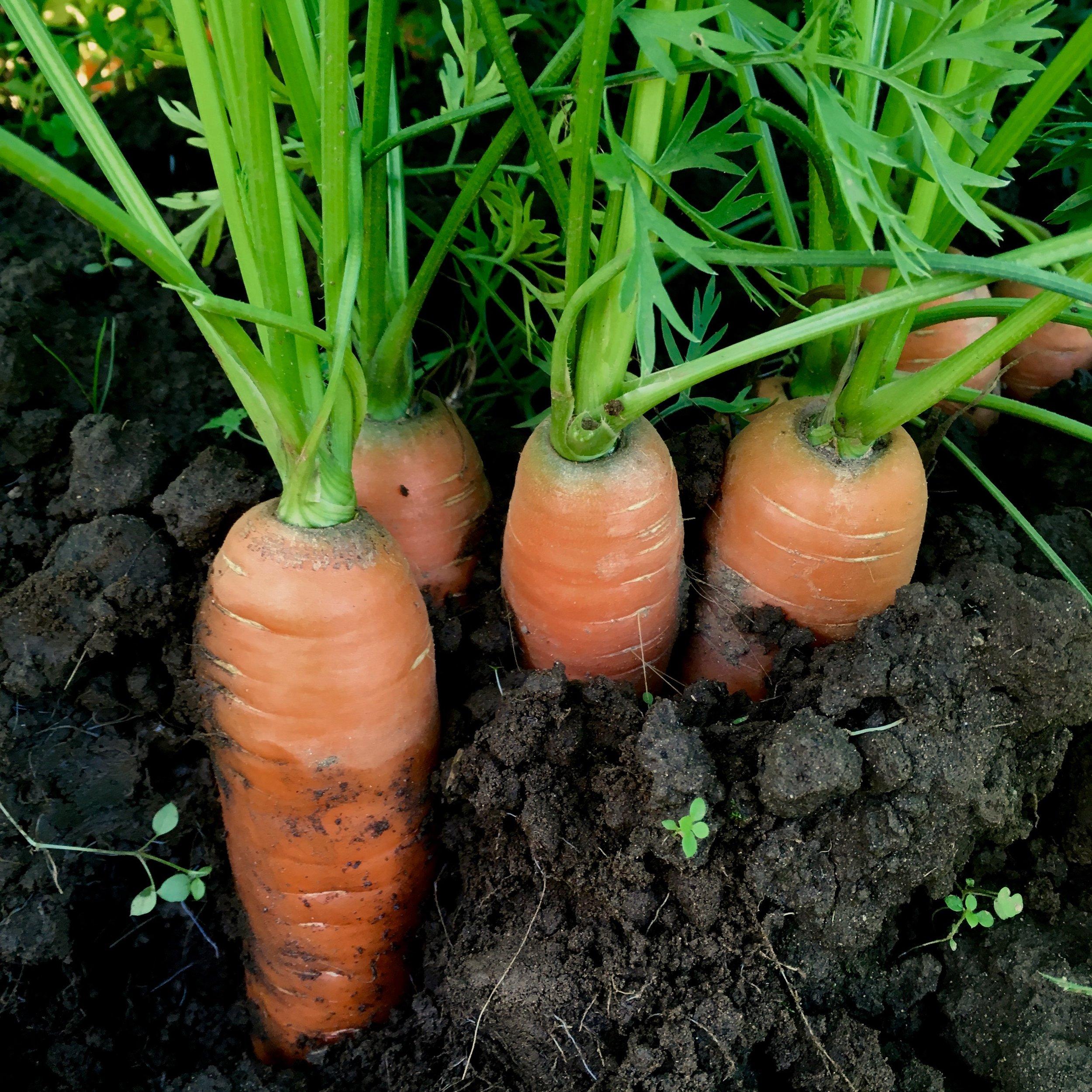 Helsing Junction Farms Carrots