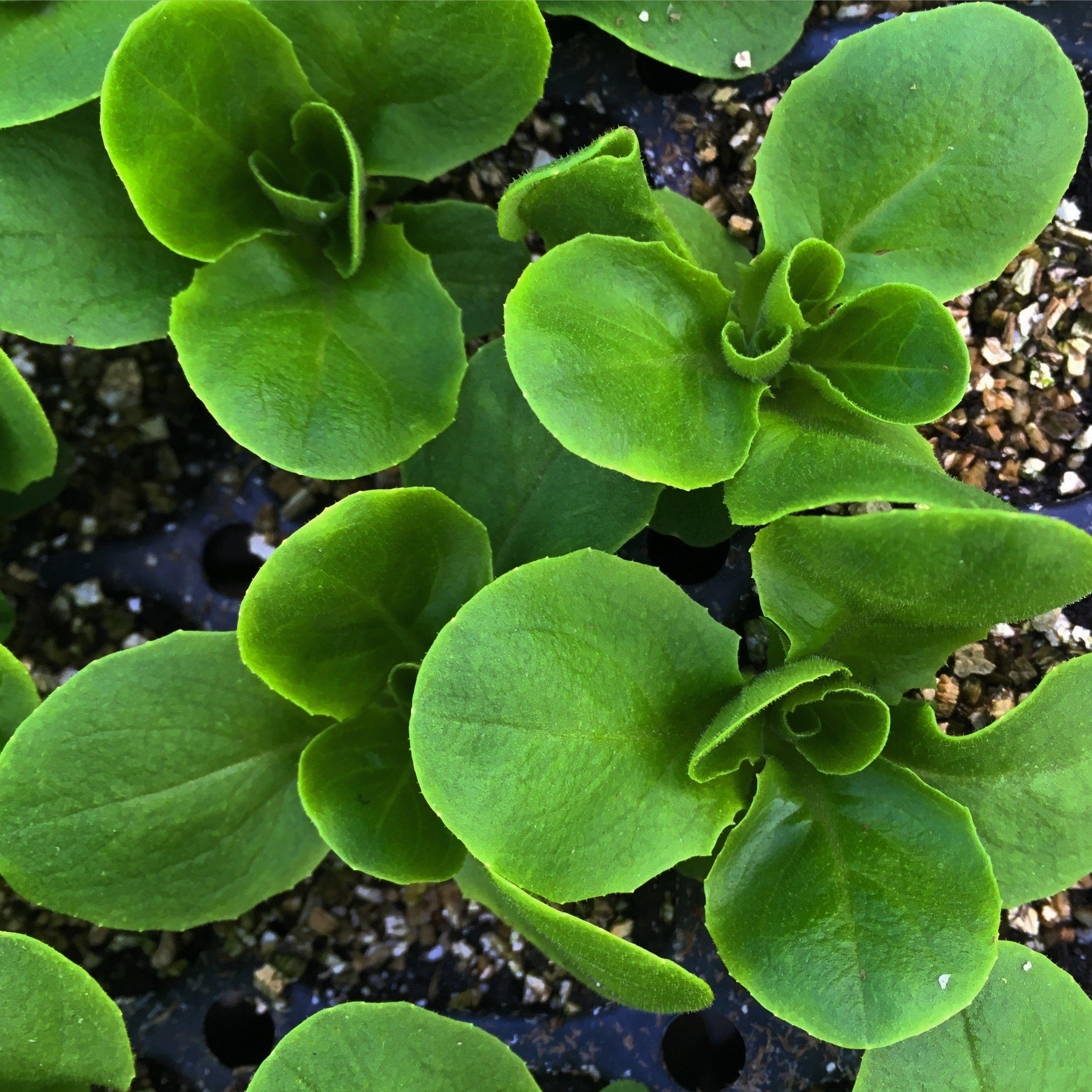Helsing Junction Farms CSA lettuce starts