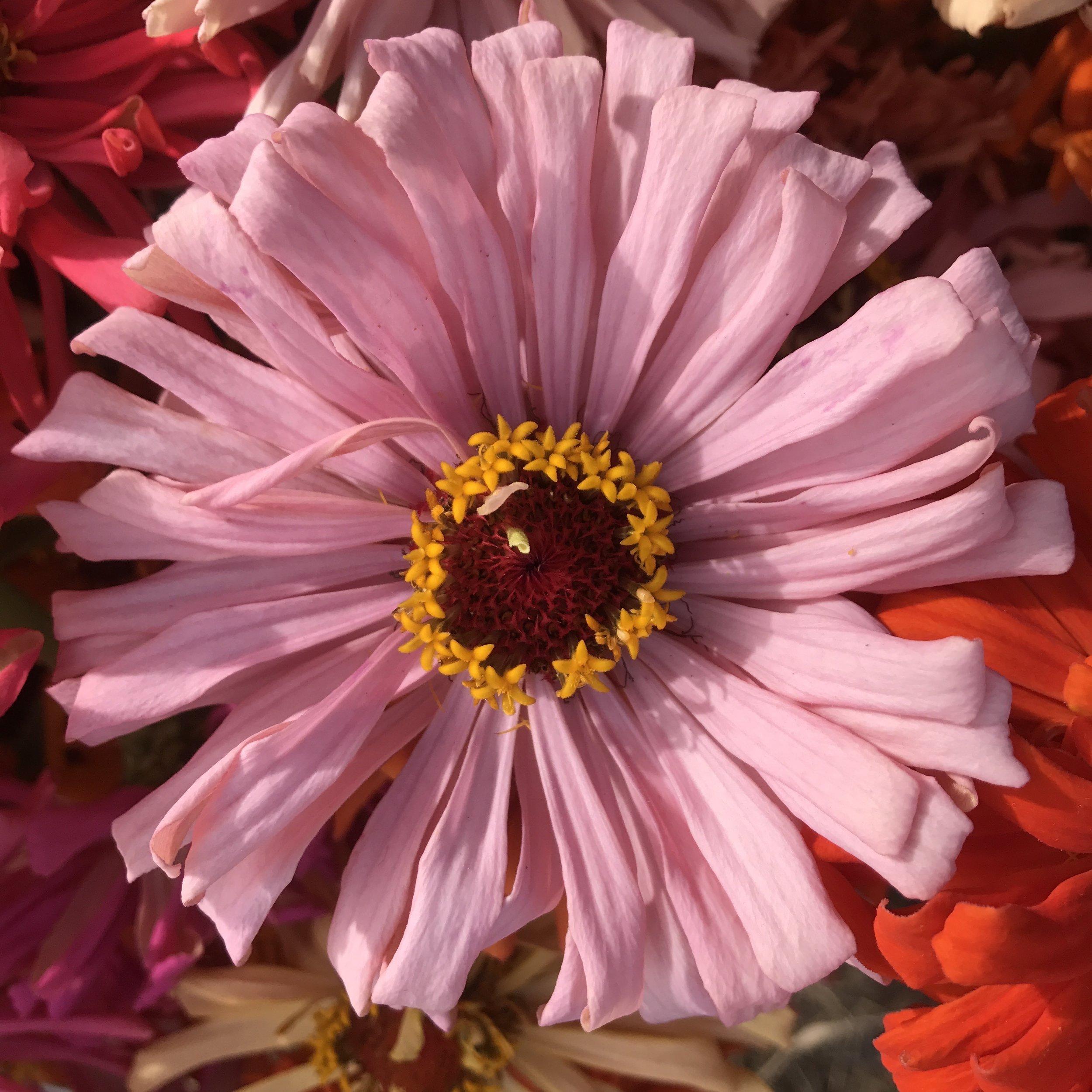 Helsing Junction Farms Flower