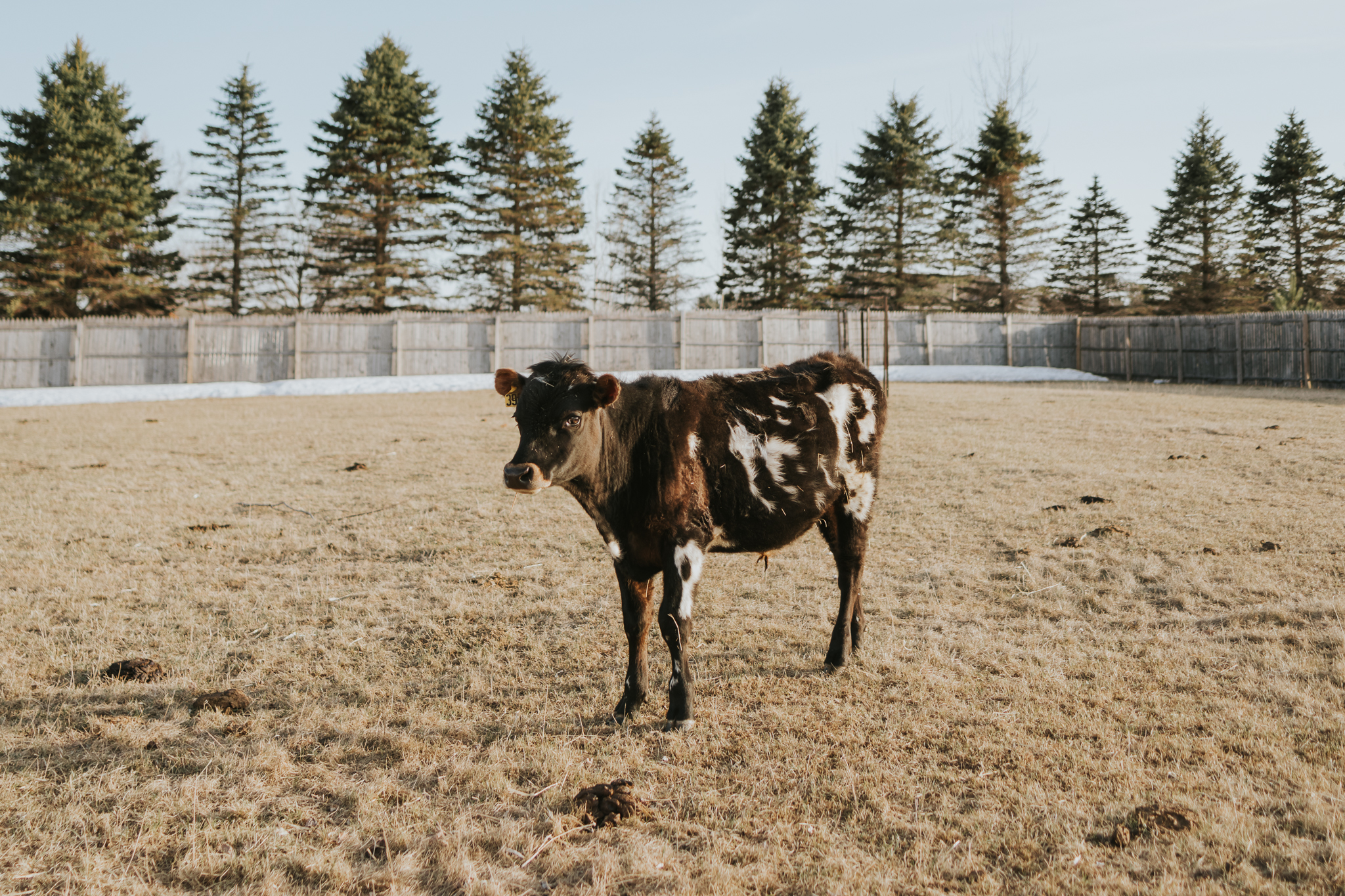 brown and white cow  - Minnesota Photography