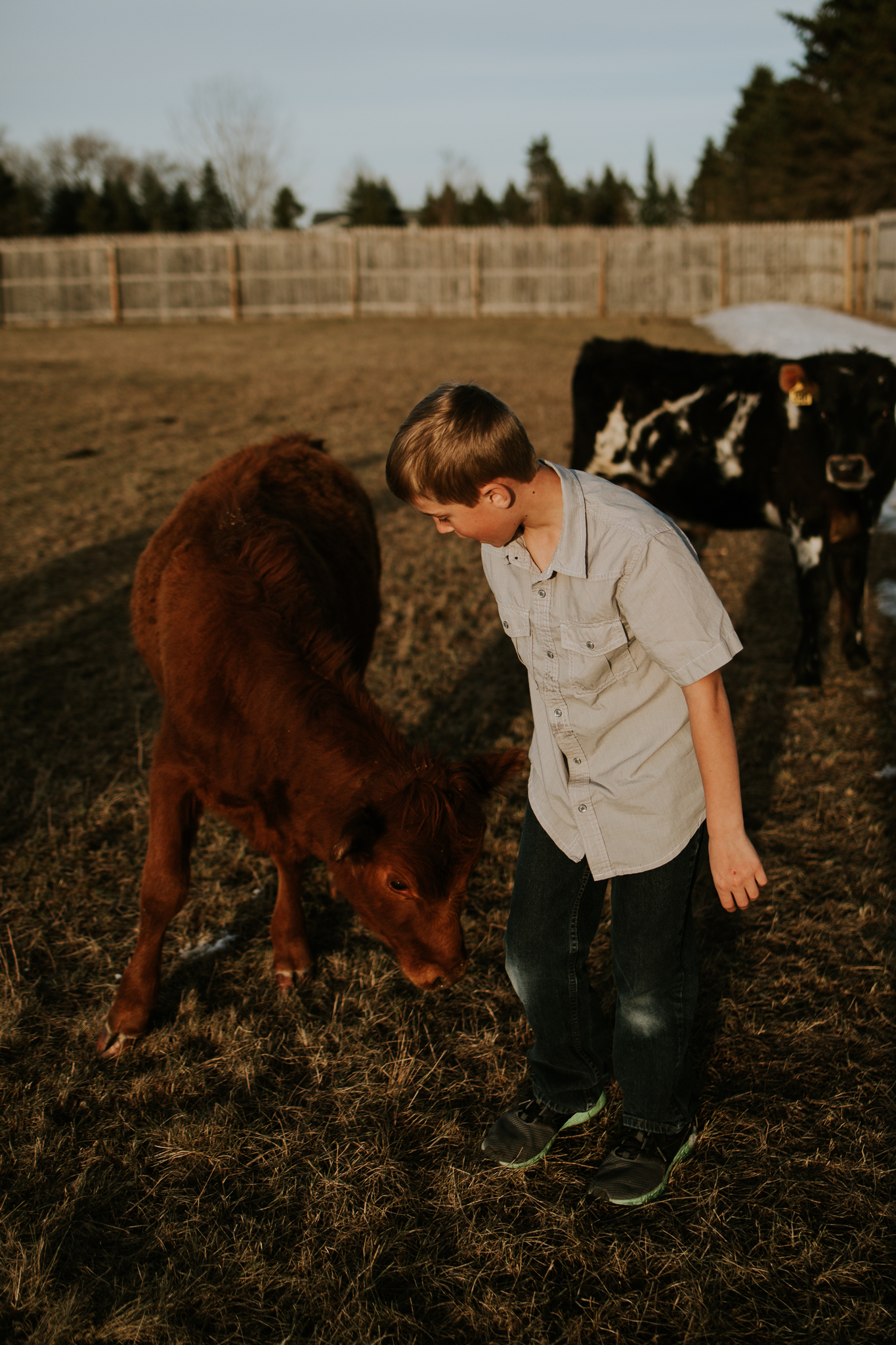 brown cow and boy in field - Minneapolis Family Photographer