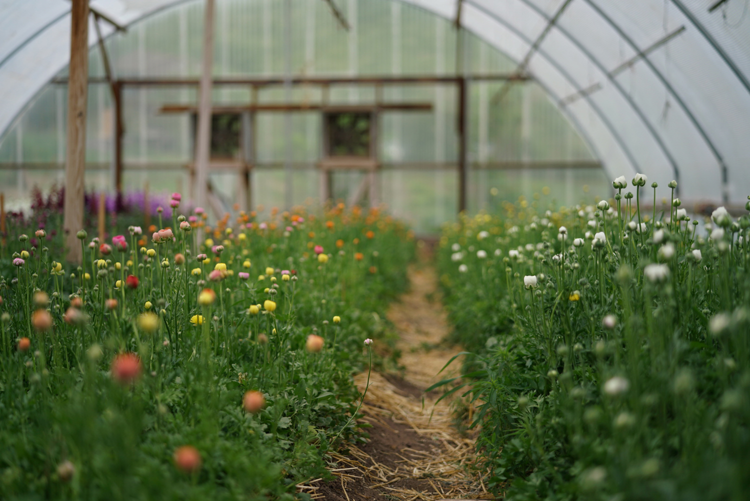 Ranunculus in the hoop mid-May. 'La Belle Champagne' on the left, 'Gigi White' on the right.  Image ©   Nelson Esseveld.