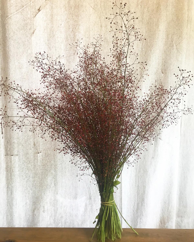 Talinum paniculatum,  Jewels of Opar, AKA Fame Flower
