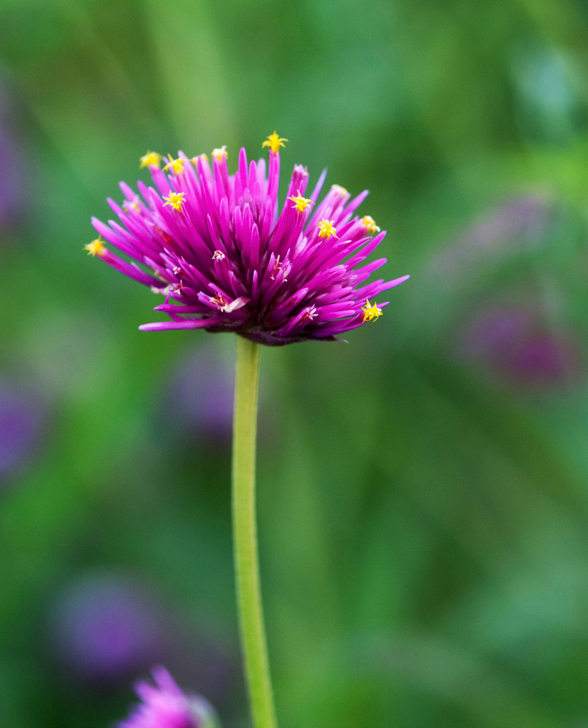 Gomphrena,  Gomphrena pulchella,  'Fireworks' : This was a variety I had to see in person to want to grow - once I did, in the back of Meg's delivery van from Red Daisy Farms, I knew it was a must-have. It's quite tall, very productive, and such a cute little pom pom. Seeds from  GeoSeed.