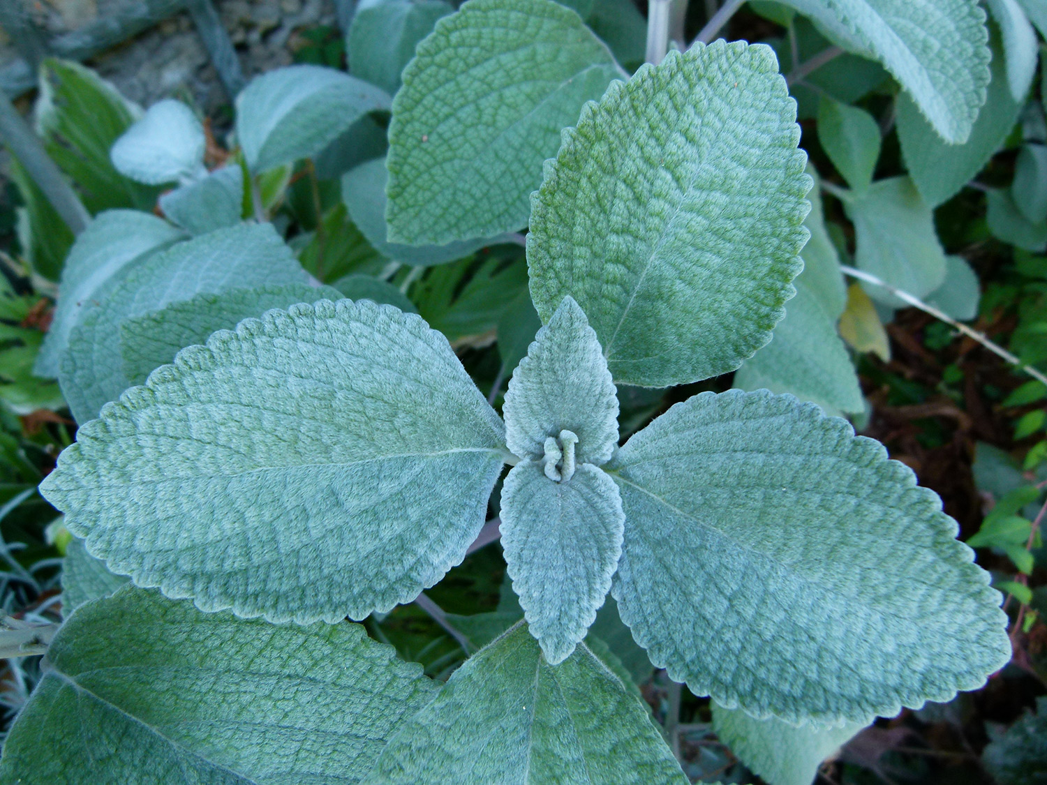 "Silver Spurflower,  Plectranthus argentatus , 'Silver Shield':  Farmer Bailey's description of these plants convinced me to give them a try: ""I saw that Anna Jane over at Little State Flower Co is growing it for cuts so I gave it a try, and sure thing, it hold up just fine! It's big and vigorous, hitting 30"" in height, and best of all it's much less wilty than dusty miller."" Plugs from  FB  or seed from  Geo  - no idea what it's like to germinate but obviously I must try ;)"
