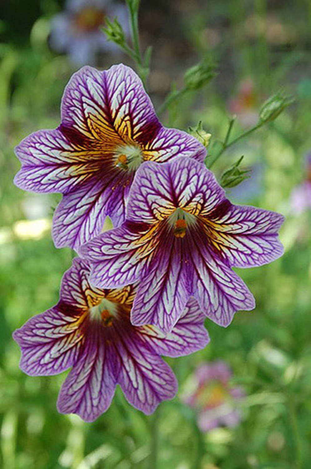 Painted Tongue,  Salpiglossis sinuatum , 'Black Trumpets', 'Kew Blue,' 'Gloomy Rival', 'Little Friends':  My friend Allison over at  Sol y Sombra Farm  was growing these, and I've been infatuated with them ever since. The patterns on their throats and their deep psychedelic colors are mesmerizing! Seeds from  Geo  and  Select Seeds .