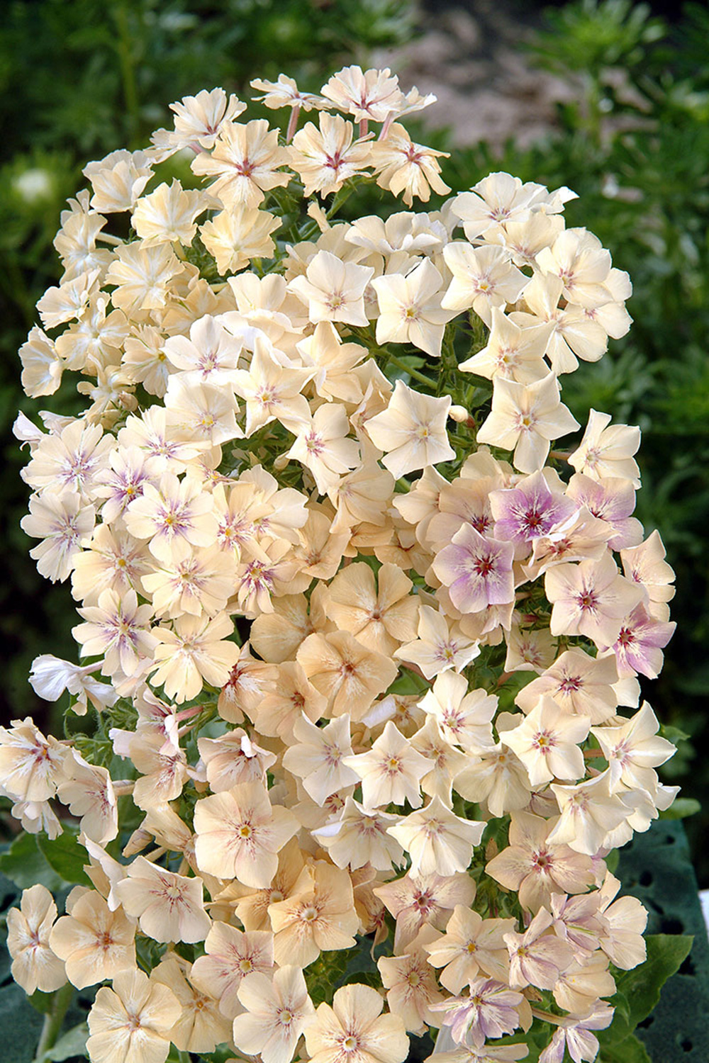 Annual Phlox,  Phlox drummondii , 'Créme Brulee', 'Whipped Cream':  So pleased to see these new colors of phlox! Though phlox is one of those crops that can be frustrating, when it won't germinate or when it starts flowering on teeny tiny little stems, when it's good, it's great. One of those fantastic fluttery blooms that make everything seem more delicate and feminine. It's nice to see a pure white phlox, and then this brown/cafe au lait color. 'Cherry Caramel' and 'Blushing Bride' are still excellent choices as well. Seeds from  Floret  and  Select Seeds.