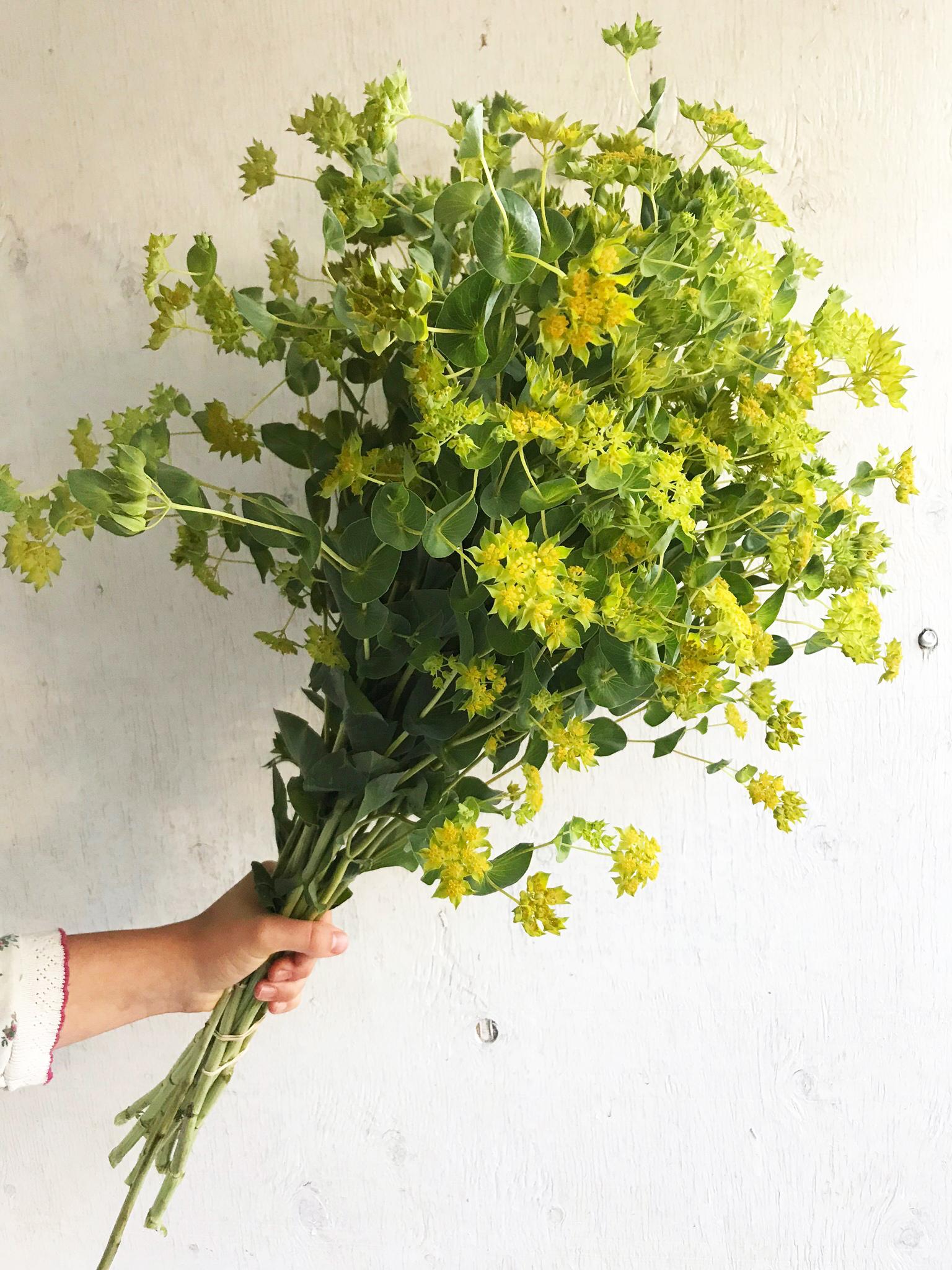 Bupleurum - Green Gold