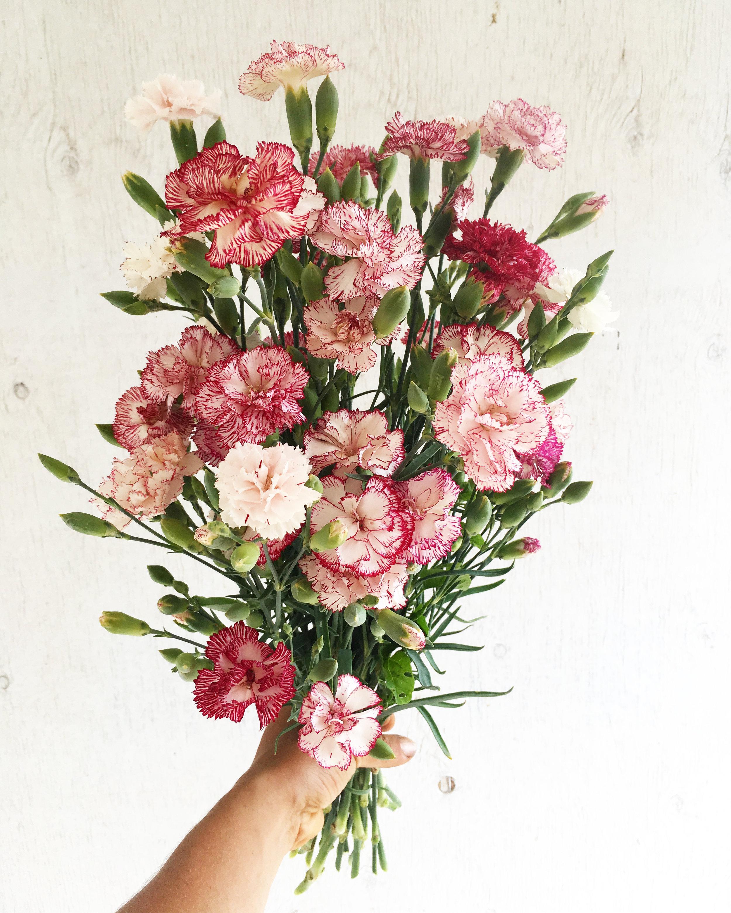 Carnation - Chabaud Begnina