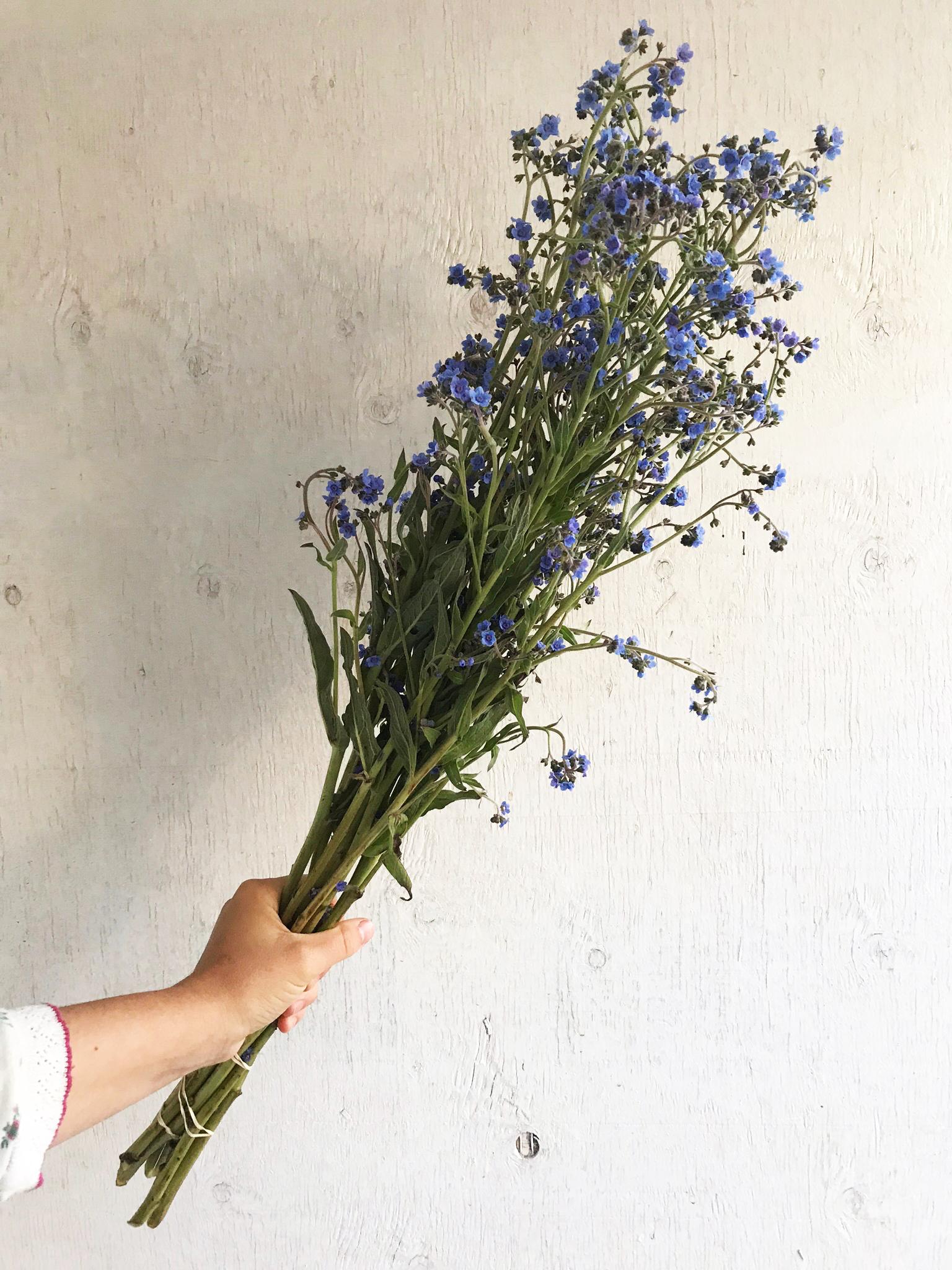 Cynoglossum - Blue Showers