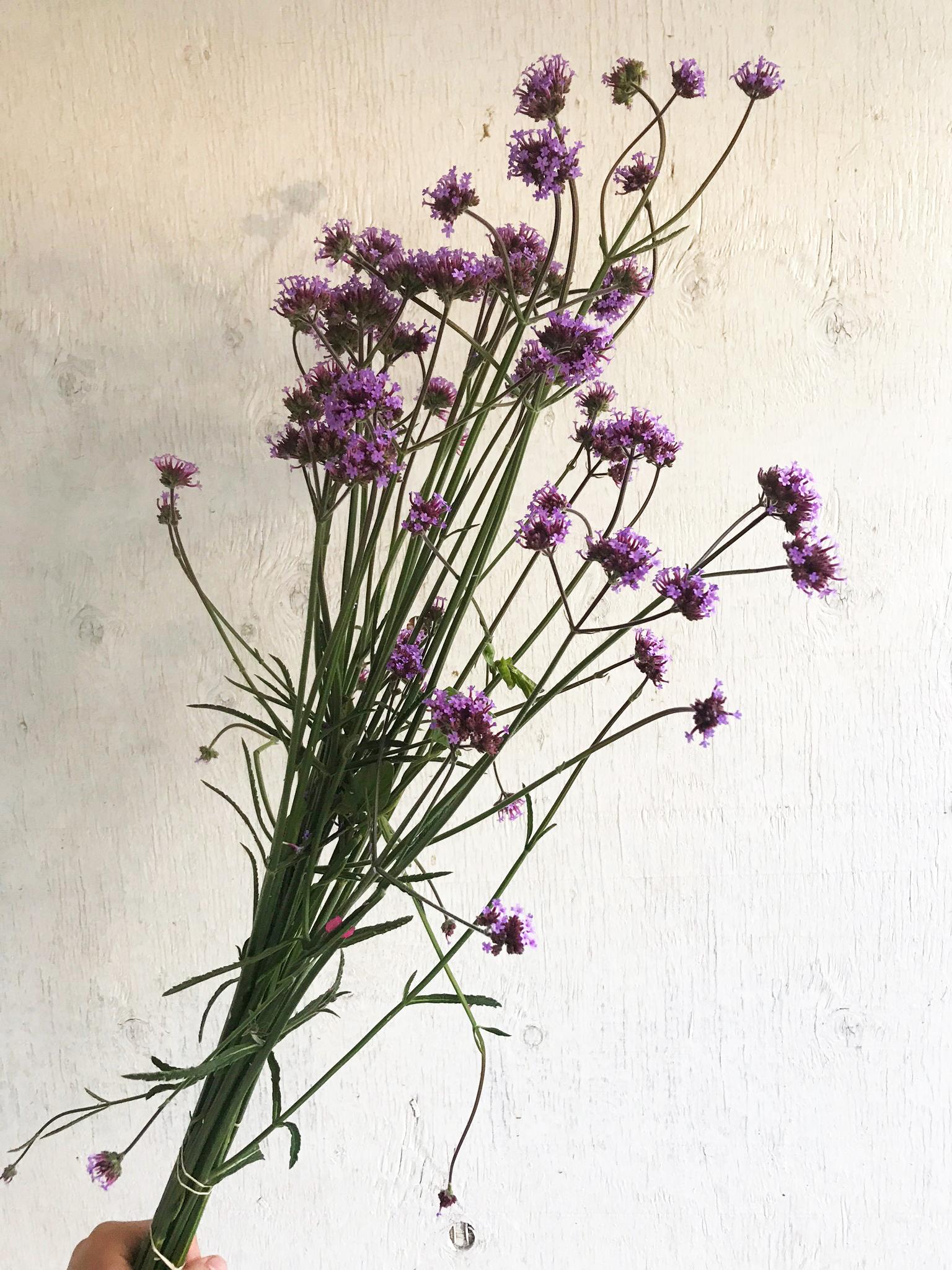 Verbena - Purple Top