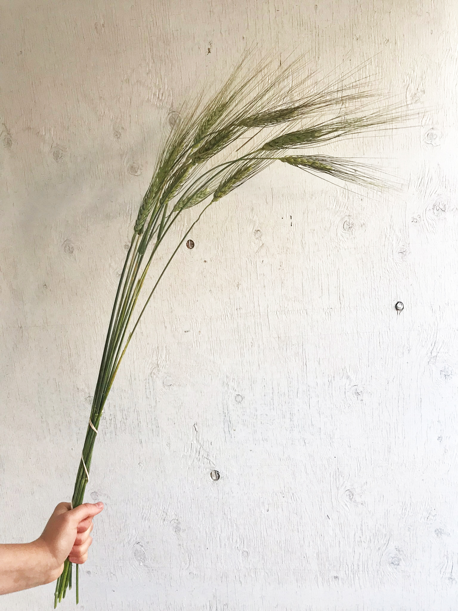 Wheat - Black Tip