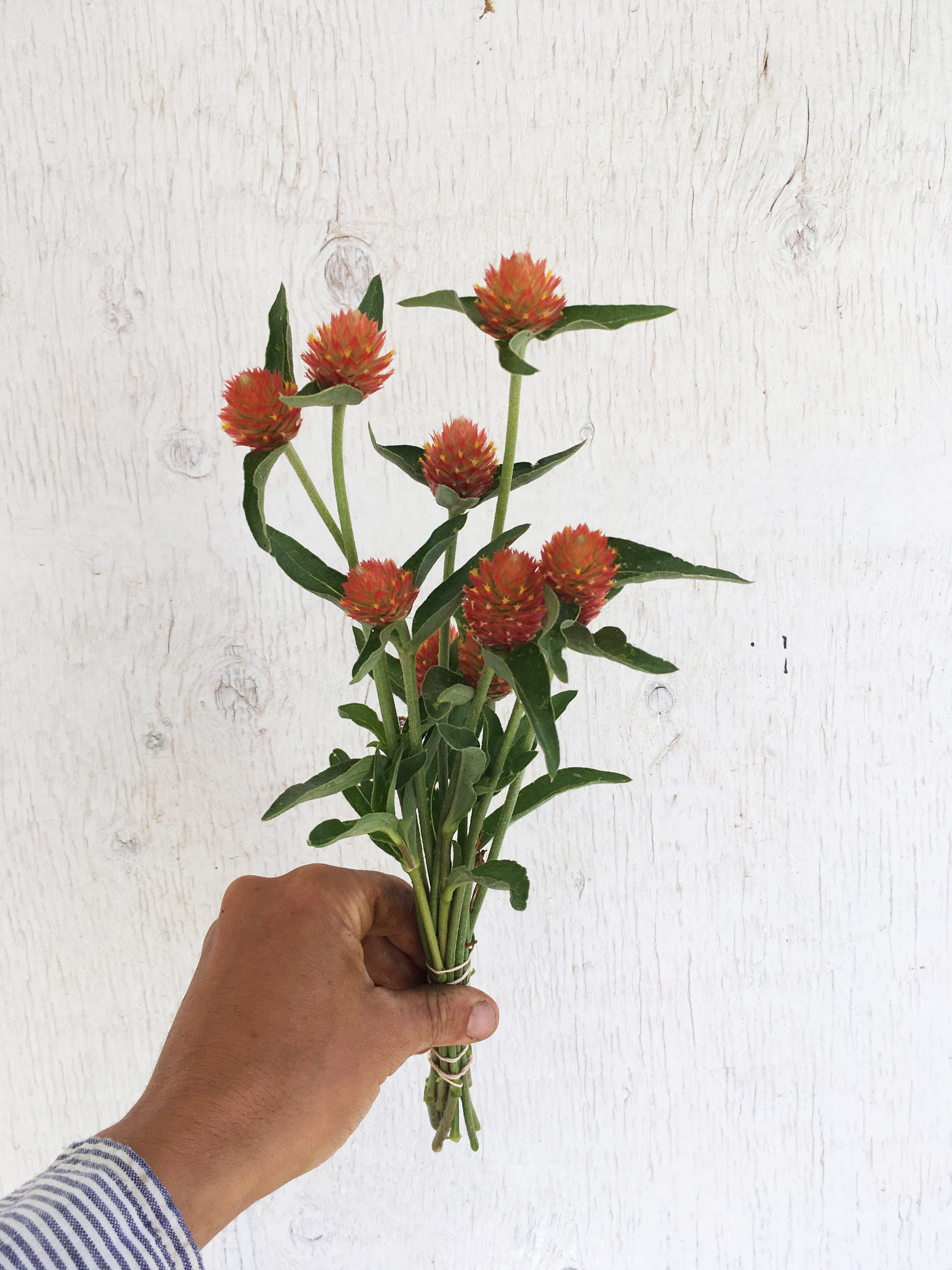 Gomphrena - Orange