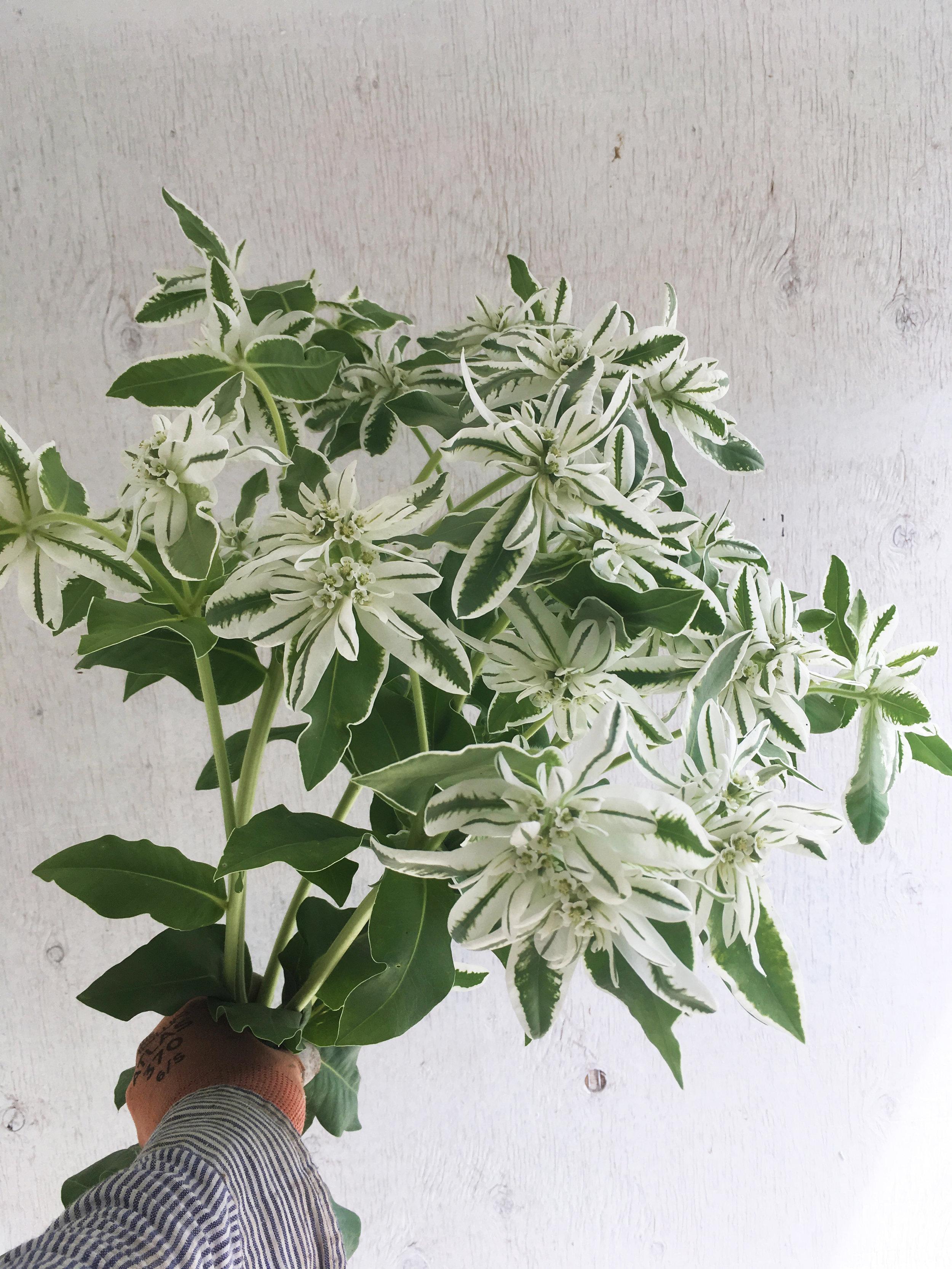 Euphorbia - Snow on the Mountain