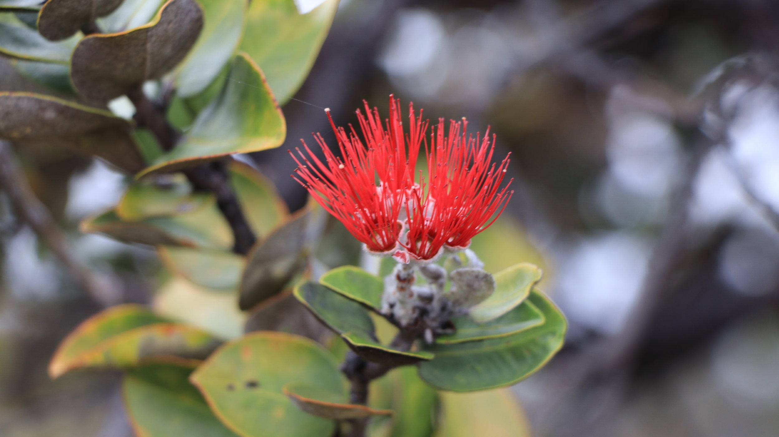 Ohia Flower & Branch - Big Island, HI