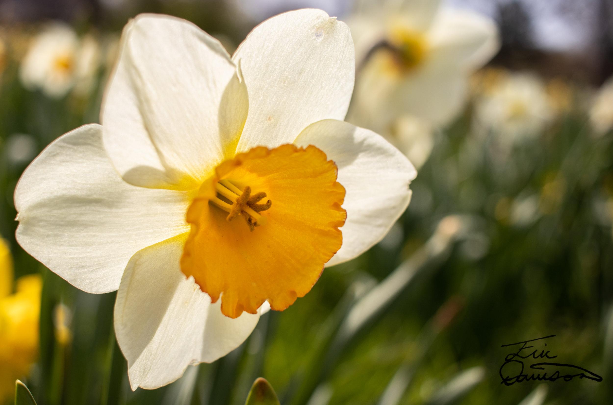 A Happy Daffodil
