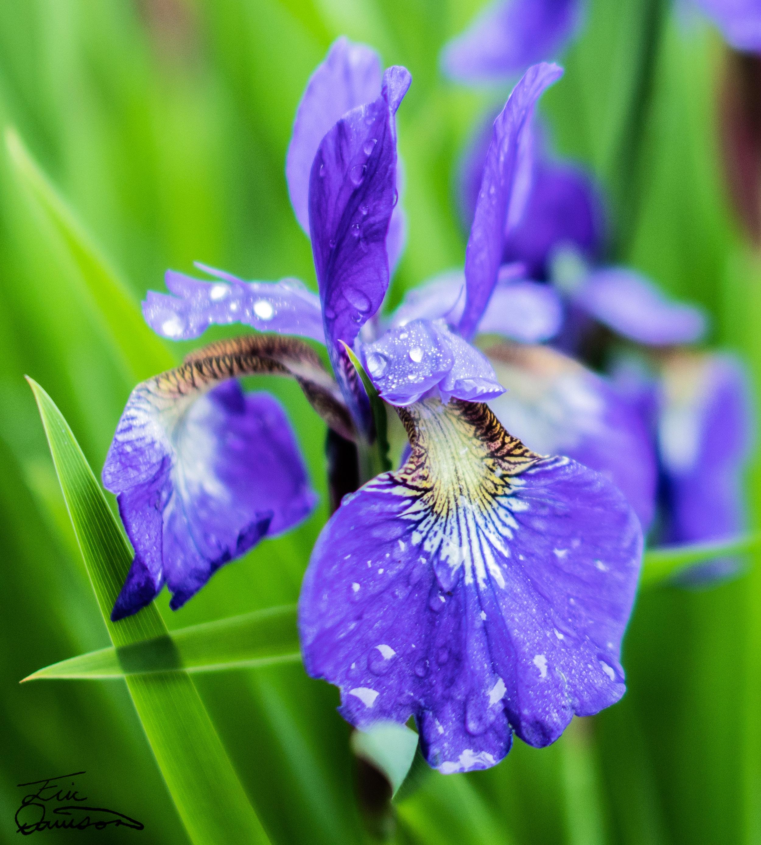 Purple Iris Portrait