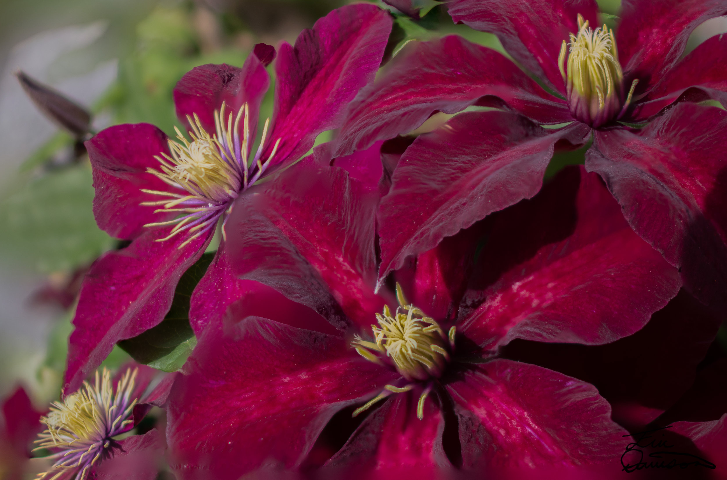 Clematis - Focus Stacked