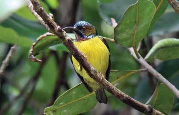 Plain-throated sunbird.jpg