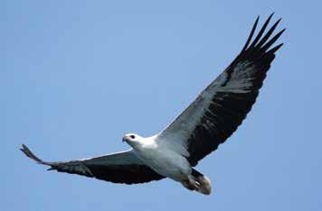 white-bellied sea-eagle.jpg