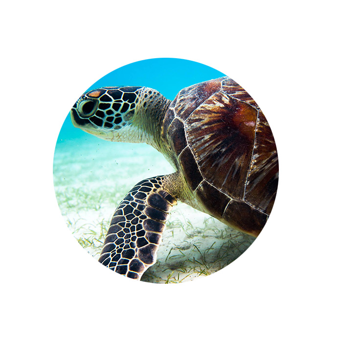Malaysian sea turtle photo-id network.jpg