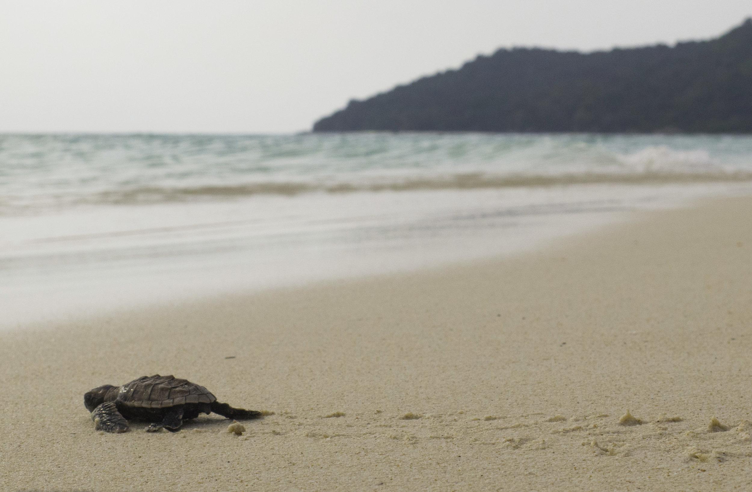 Island back ground single turtle.jpg