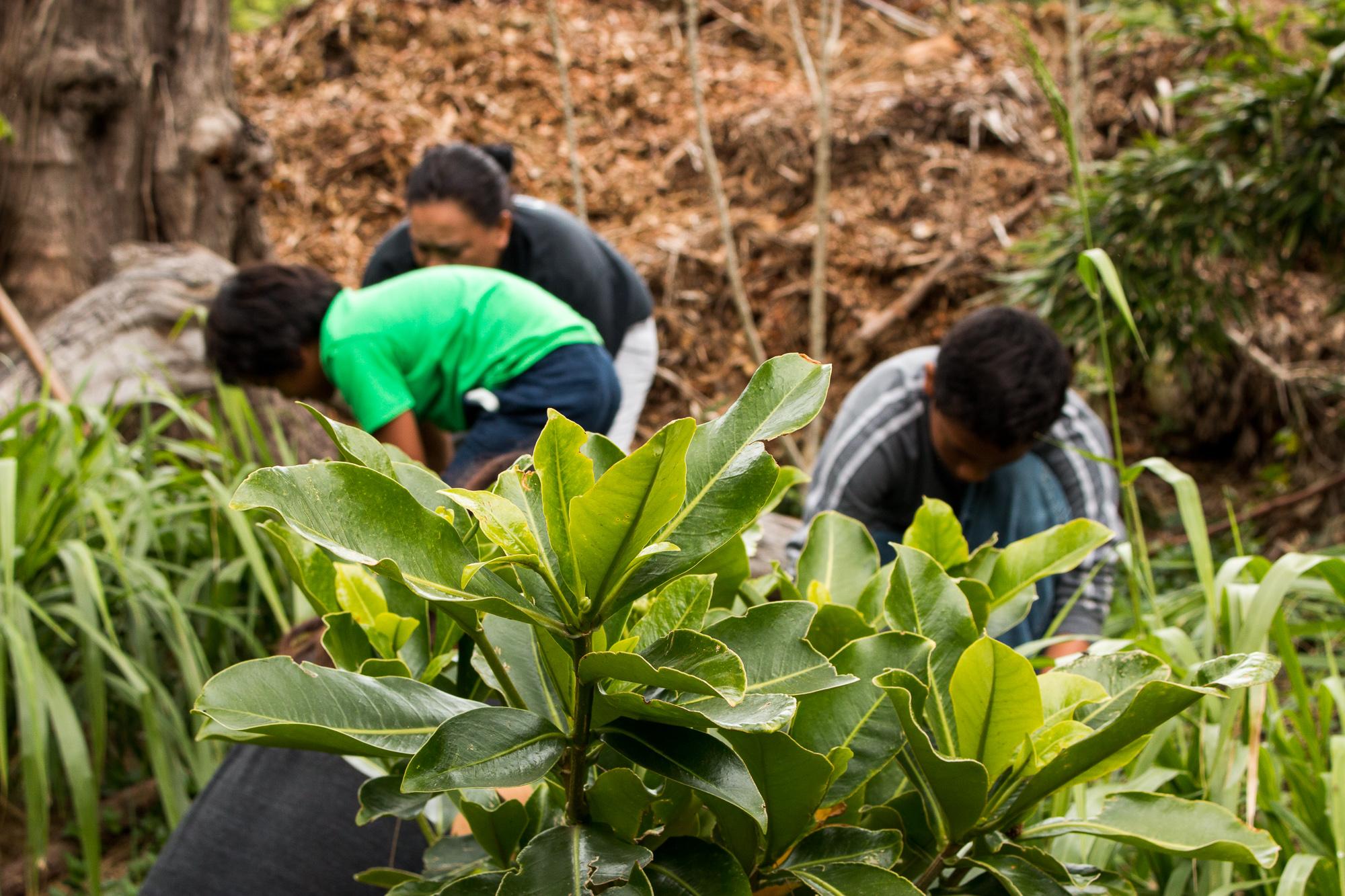 Hooulu Aina Community Garden Workday Roots KKV